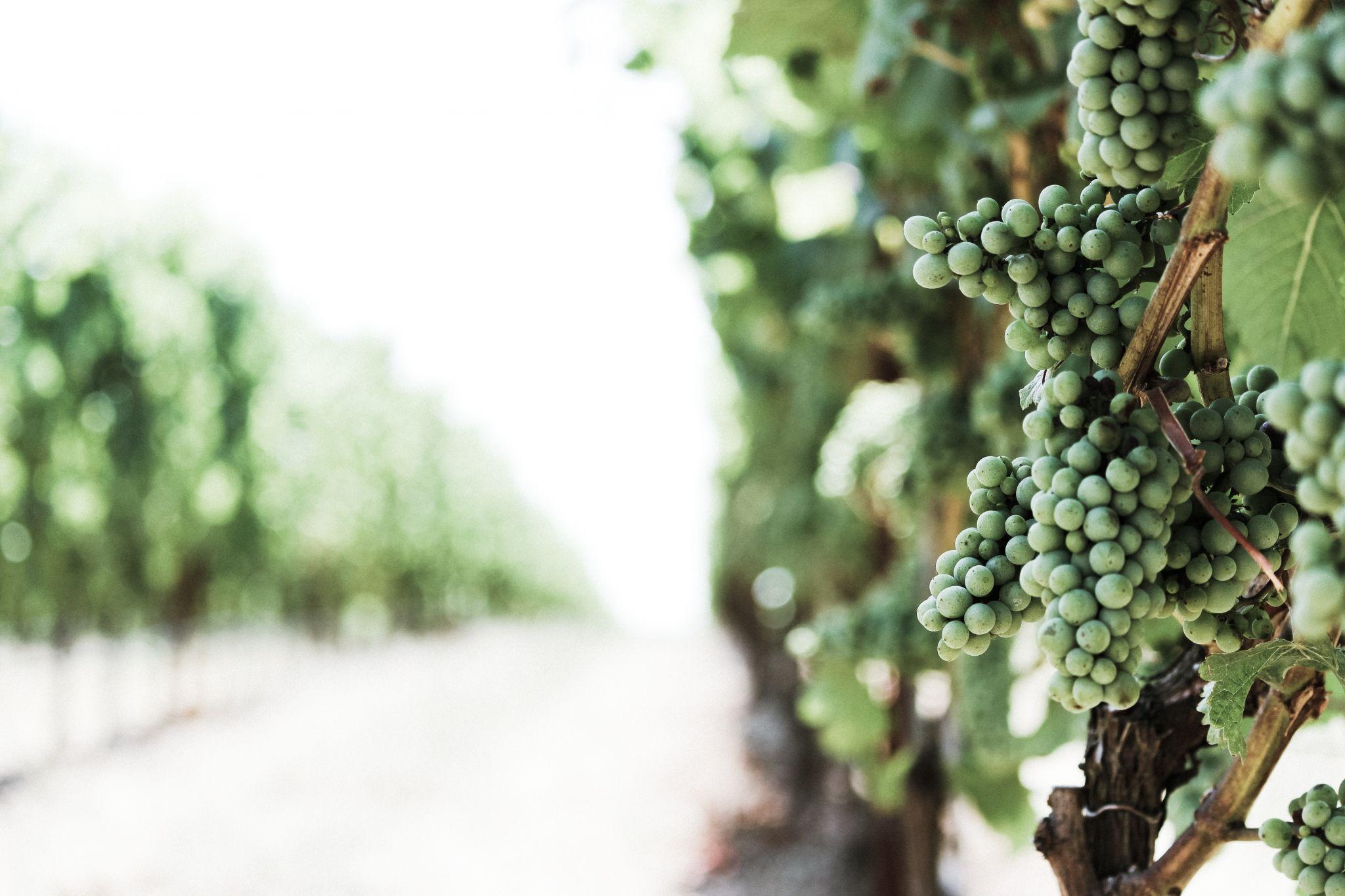 chardonnay-grappes