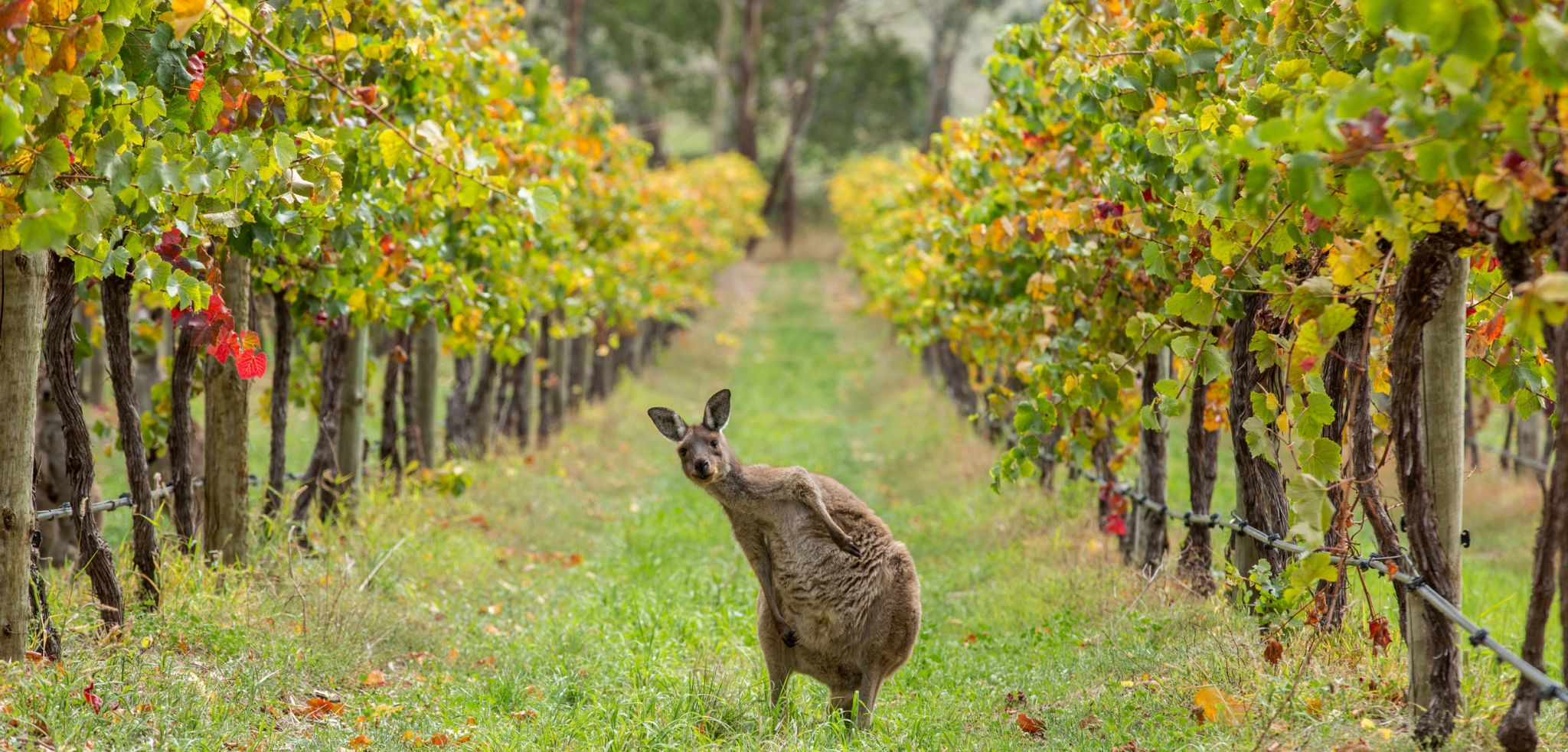 vignoble-australie